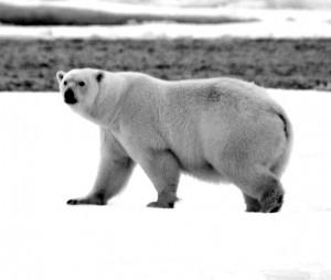 VBP bear